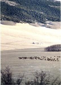 Vertical Elk herd